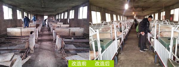猪舍养猪设备改造前后对比